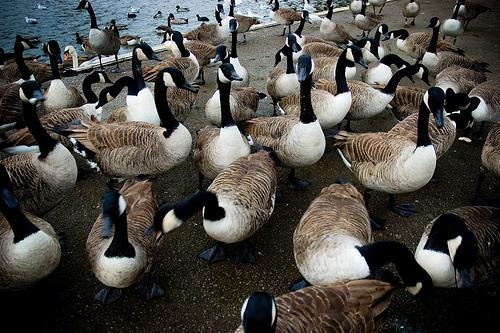 Evil Geese